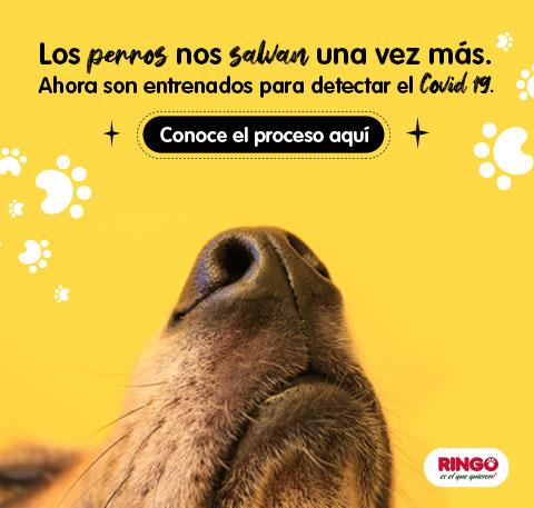 Perros entrenados detectan el covid-19